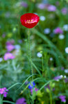 Single Red Poppy With Blurred Background Close-Up